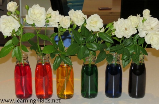 Absorption Activity – Rainbow Roses   Learning 4 Kids