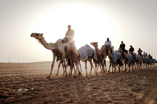 Culture Desert Camels walking
