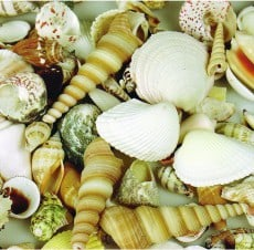 Large Sea Shells 1kg