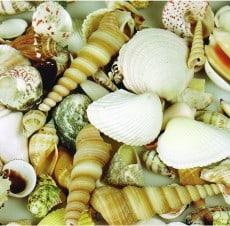Large Sea Shells 1kg